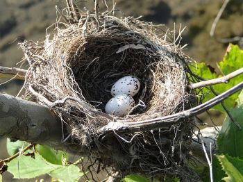 An Eastern Kingbird's nest and eggs.