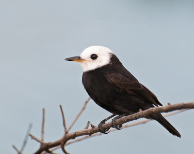 White-headed Marsh Tyrant (Arundinicola leucocephala) Male ©©Dario Sanches