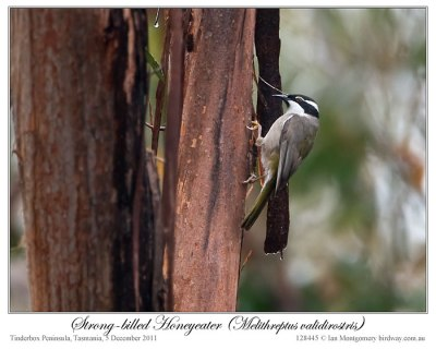 Strong-billed Honeyeater (Melithreptus validirostris) by Ian 1
