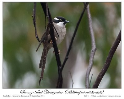 Strong-billed Honeyeater (Melithreptus validirostris) by Ian 2