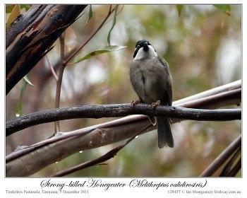 Strong-billed Honeyeater (Melithreptus validirostris) by Ian 3