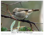 Brown Thornbill (Acanthiza pusilla) by Ian 3