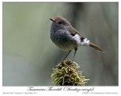 Tasmanian Thornbill (Acanthiza ewingii) by Ian 1