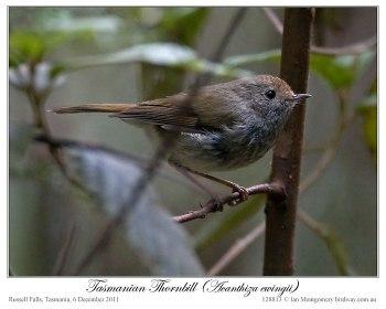 Tasmanian Thornbill (Acanthiza ewingii) by Ian 2
