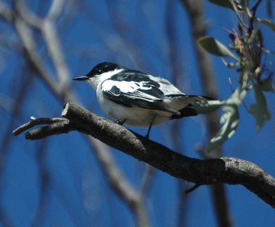 White-winged Triller (Lalage tricolor) by ©Wiki
