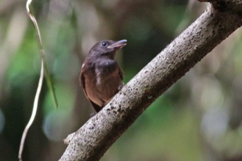Morningbird (Colluricincla tenebrosa) by Margaret Sloan