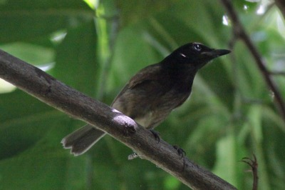 Morningbird (Colluricincla tenebrosa) by Margaret Sloan