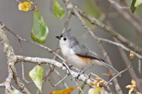 Tufted Titmouse (Baeolophus bicolor) by Margaret Sloan