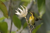 Olive-backed Sunbird (Cinnyris jugularis) by Margaret Sloan