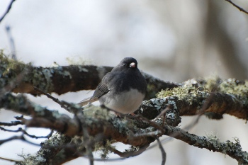 Dark-eyed Junco Junco (hyemalis carolinensis) ©Flickr Don Faulkner