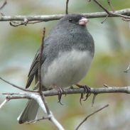 Dark-eyed Junco (Slate-colored) (Junco hyemalis hyemalis) female WikiC