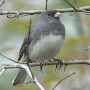 Dark-eyed Junco (Slate-colored) (Junco hyemalis hyemalis) female WikiC