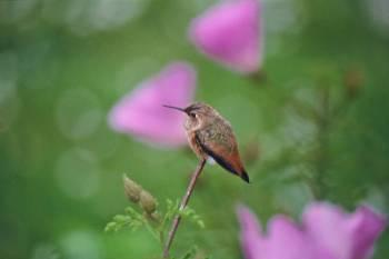 Allen's Hummingbird (Selasphorus sasin) ©USFWS