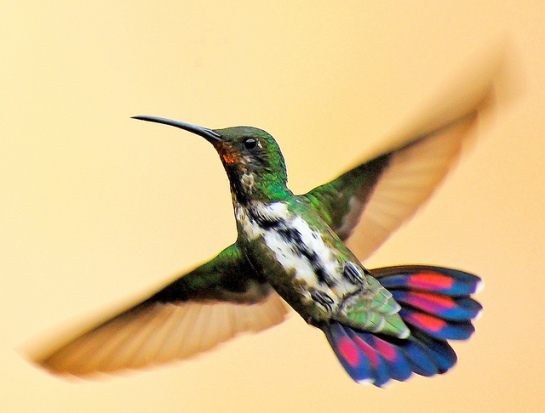Black-throated Mango (Anthracothorax nigricollis) by Dario Sanches