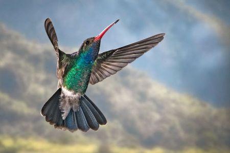 Broad-billed Hummingbird (Cynanthus latirostris) ©WikiC