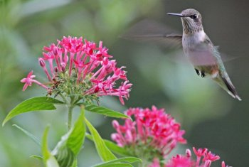 Hummingbird with Pentas by Margaret Sloan