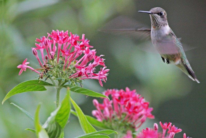 Hummingbird with Pentas by Margaret Sloan