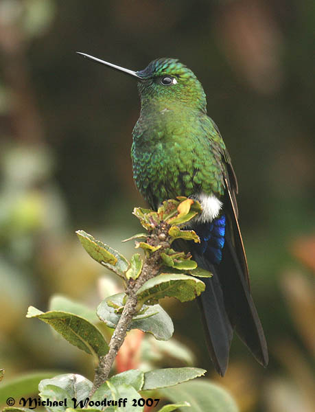 Sapphire-vented Puffleg (Eriocnemis luciani) by Michael Woodruff