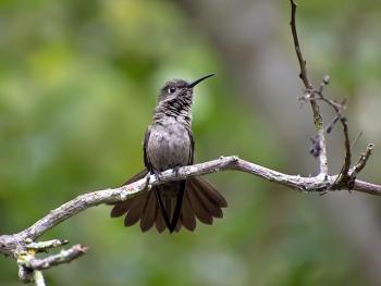 Sombre Hummingbird (Aphantochroa cirrochloris) By Dario Sanches