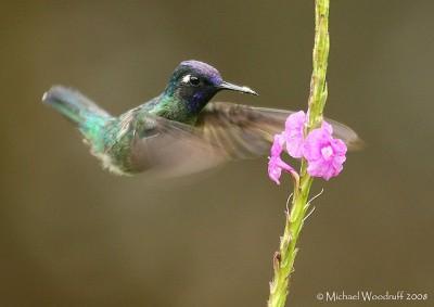 Violet-headed Hummingbird (Klais guimeti) by Michael Woodruff