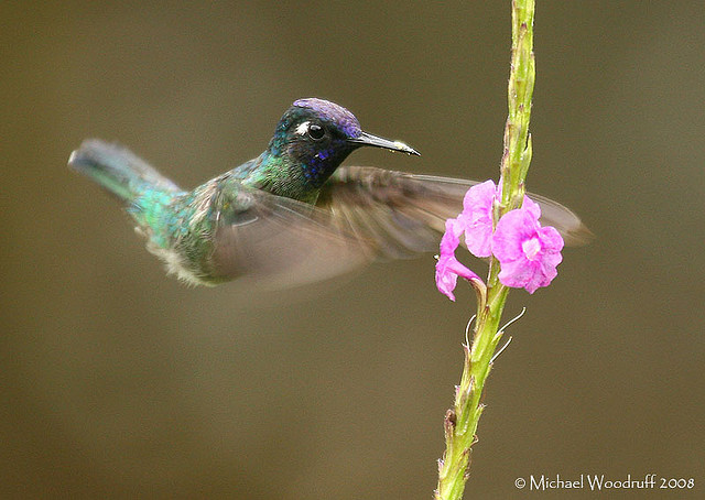 Violet-headed Hummingbird (Klais guimeti) by Michael Woodruff