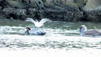 Laughing Gull landing on Brown Pelican