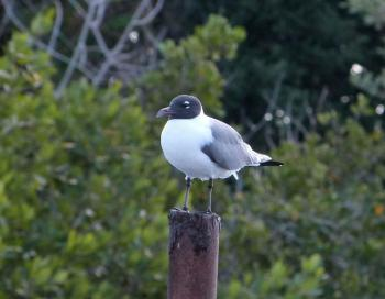 Laughing Gull on post