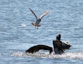Laughing Gull watching Brown Pelican preparing to land