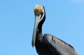 Mature Brown Pelican by Dan at MacDill