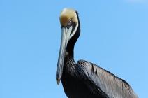 Mature Brown Pelican by Dan at MacDill