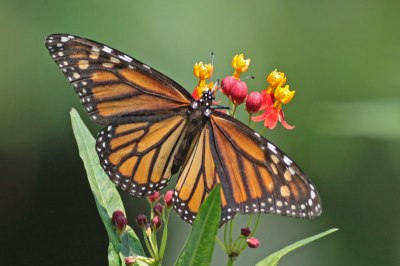 Monarch Butterfly (Danaus plexippus) by Margaret Sloan