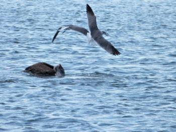 Pelican catching fish and Gull circling