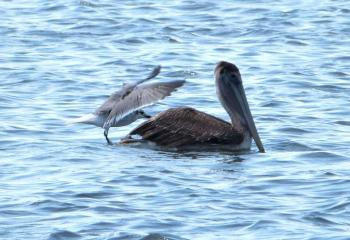 Brown Pelican and Laughing Gull - Slipping Off