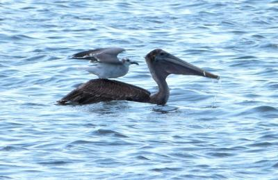 Brown Pelican and Laughing Gull - Waiting