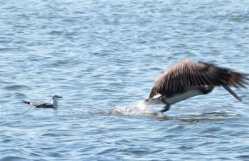 Brown Pelican leaving Laughing Gull