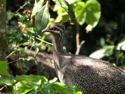 Elegant Crested Tinamou (Eudromia elegans) Cloud Forest at Zoo Miami by Lee