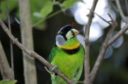 Fire-tufted Barbet (Psilopogon pyrolophus) by Dan at WA