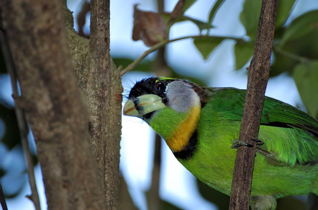 Fire-tufted Barbet (Psilopogon pyrolophus) by Dan at Wings of Asia Miami Zoo
