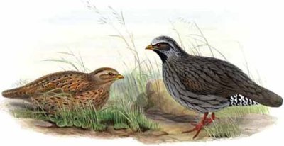 Himalayan Quail (Ophrysia superciliosa †) ©Drawing WikiC