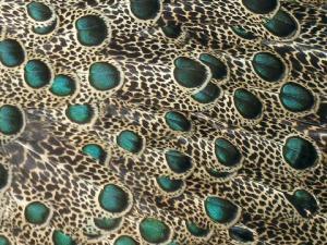 Malayan Peacock-Pheasant (Polyplectron malacense) Feathers ©WikiC