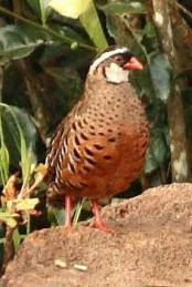 Painted Bush Quail (Perdicula erythrorhyncha) ©WikiC