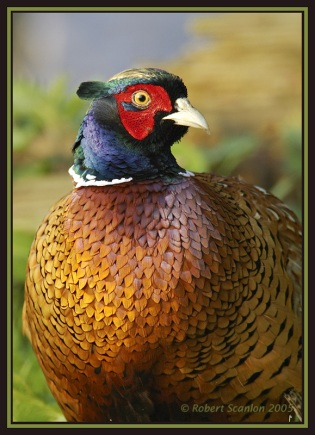 Pheasant (Phasianus colchius) by Robert Scanlon
