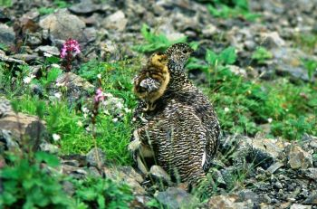 Rock Ptarmigan (Lagopus Muta) ©WikiC mother and chick