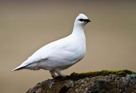 Rock Ptarmigan (Lagopus Muta) in winter plumage ©WikiC
