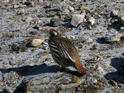 Tibetan Snowcock (Tetraogallus tibetanus) ©WikiC