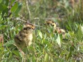 Willow Ptarmigan (Lagopus lagopus) ©WikiC chicks