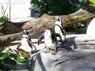 African Penguin (Spheniscus demersus) at LPZoo