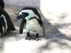 African Penguin with cool feet