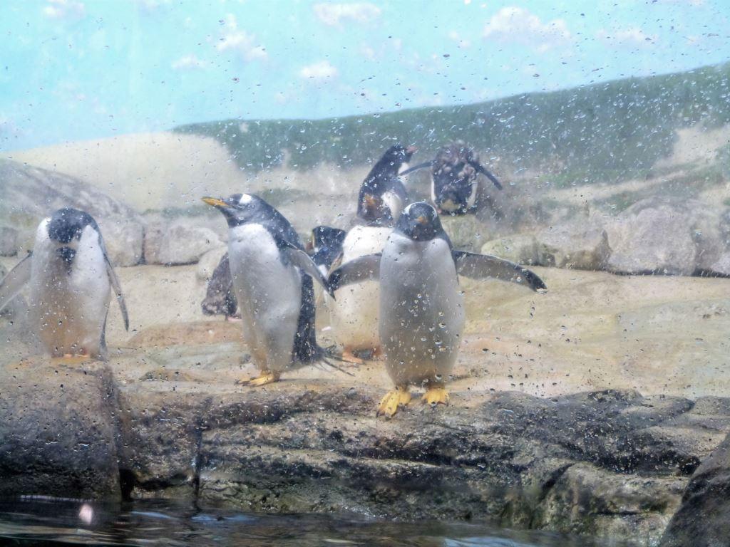 Gentoo Penguin (Pygoscelis papua ellsworthi) at Riverbanks Zoo