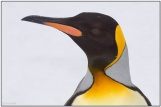 King Penguins head close-up